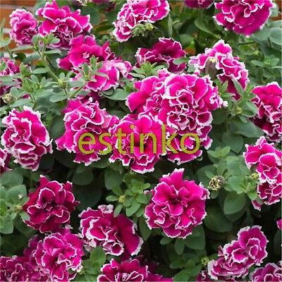 100pcs Petunia Seeds Frills and Spills Anna Petunia Flower Seeds Potted Flower