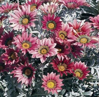 GAZANIA ORANGE CREAM FLOWER SEEDS DROUGHT TOLERANT RESEEDING ANNUAL 30