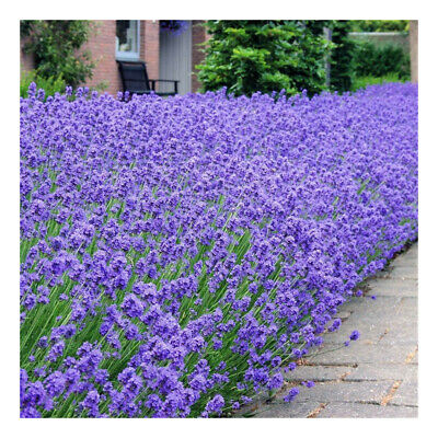 "Lavendula angustifolia Munstead-Old English Lavender Plant in 3.5"" pot"