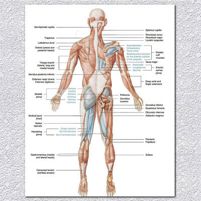 Human Body Muscular System  Anatomy Poster Set Laminated Anatomical Muscle Chart