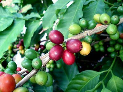 Coffee Bean Tree (Coffea arabica) 20  Seeds