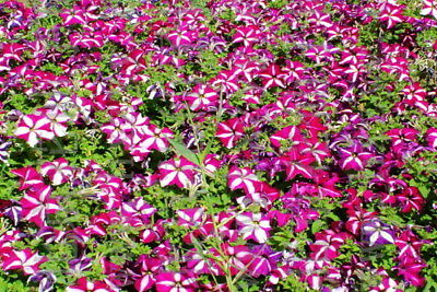 100 Red Star Petunia Seeds Petunia Hybrida Morning Glory Garden Flowers A045