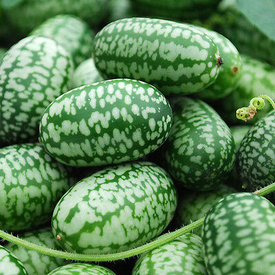 Mexican Mini Sour Gherkins aka Cucamelon - USA Grown (15 seeds)
