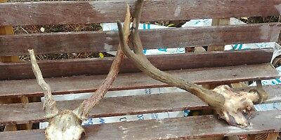 fallow and samba antlers horn taxidermy stag art craft skull deer chital red