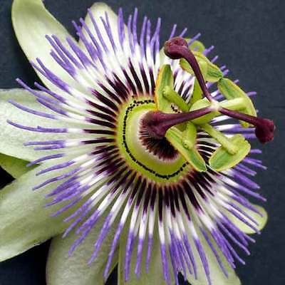 Passiflora Caerulea - 25 Seeds - Blue Passion Flower