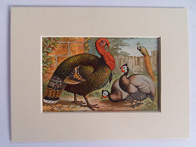 "TURKEY & GUINEA FOWL ANTIQUE PRINT DATED 1880  NEW 6x8"" MOUNT READY TO FRAME"