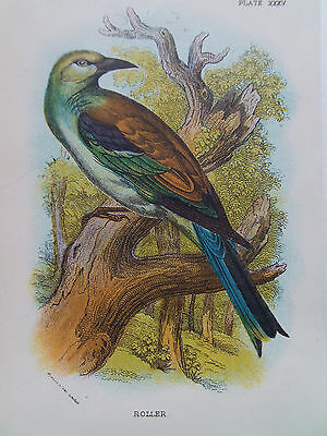 BIRDS ROLLER ORIGINAL OLD ANTIQUE PRINT DATED 1880 12cm X 18cm