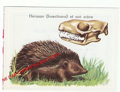 HERISSON INSECTIVORE CRANE MAMMIFERE HEDGEHOG insectivorous SKULL IMAGE CARD 60s