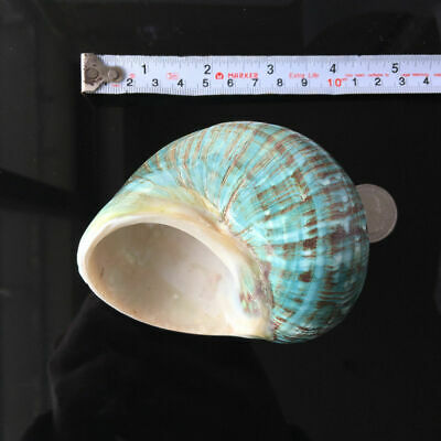 10CM Green Turbo Natural Rare Real Sea Shell Conch Stunning Healing Decor Ocean