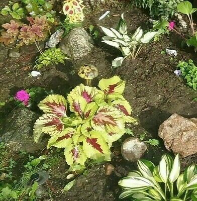 Mixed large Coleus Seeds, Foliage Plant Seeds, kong, great expectation,25+ seeds