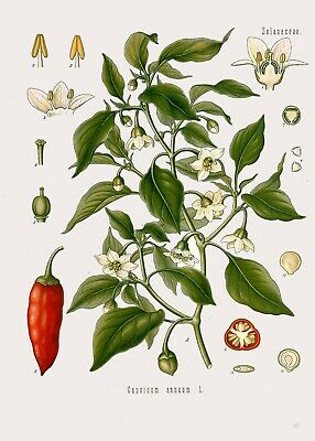 Botanical Herb Medicinal Sweet Peppers, Chilli - 115 Vintage Art Print/Poster
