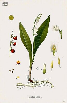 Botanical Herb Medicinal Plants Lily of the Valley - 79 Vintage Art Print/Poster