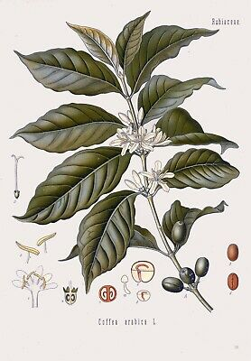 Botanical Herb Medicinal Plants Arabica Coffee - 93 Vintage Art Print/Poster