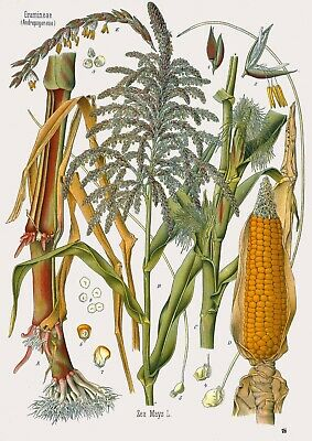 Botanical Herb Medicinal Plants Maize - 77  Vintage Art Print/Poster