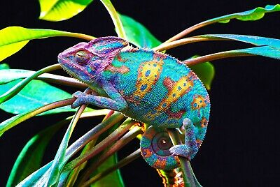 Photo Poster Print Art A0 A1 A2 A3 A4 CHAMELEON IN BLUE Animal Poster 3468