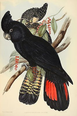 John Gould art painting Vintage  Australia Native  Birds print black cockatoo