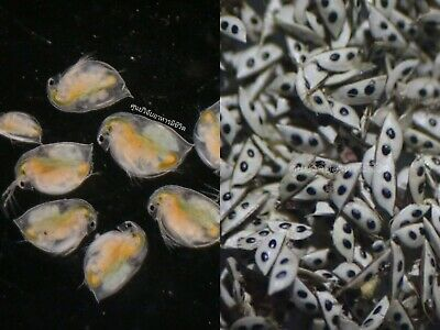 Daphnia cysts 20,000 eggs Best for all fresh water fish nusery