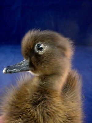 SALE! TAXIDERMY CAYUGA DOMESTIC (PEN RAISED-NATURAL DEATH) BABY  DUCK-duckling