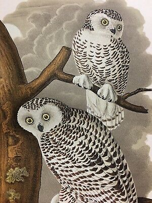 "1942 Vintage AUDUBON BIRDS #121 /""SNOWY OWL/"" BEAUTIFUL Color Art Plate Lithograph"