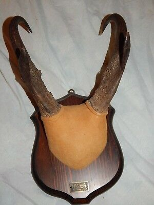 """Trophy Pronghorn Antelope Horns, Professionally Mounted Wyoming,  13"""" Horns,"""