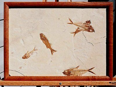 Extinctions- Huge Framed Fossil Fish Multiple, 3 Different Types- Great Display!