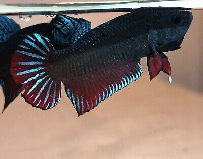 BETTA PLAKAT FIGHTER(MALE) **SUPER INDO-BAGAN~IMPORTED**BiG~GamE!**[i305]