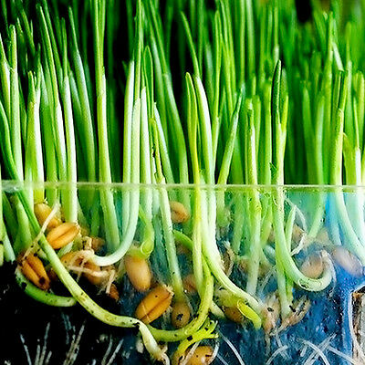 Harvested Cat Grass 1ozapNEWx 800 Seeds 100% Green With Growing Guide'~-