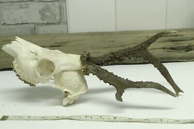 Roe Deer Antlers on skull Taxidermy / Home Decor