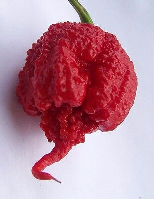 Fresh Carolina Reaper Hot Pepper Seeds (HP22B) WORLDS HOTTEST 12 seeds