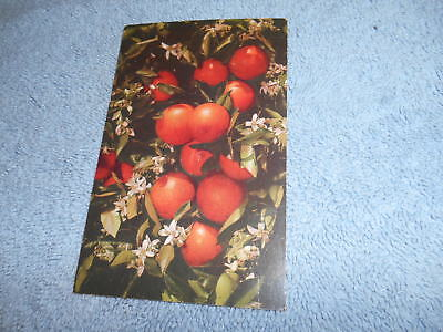 ( J ) Post Card - Oranges And Blossoms In Florida