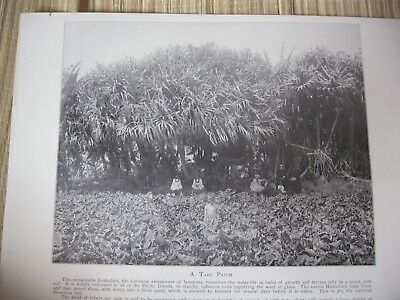 Vintage Hawaii 1898 A HAWAIIAN TARO PATCH original print from photograph