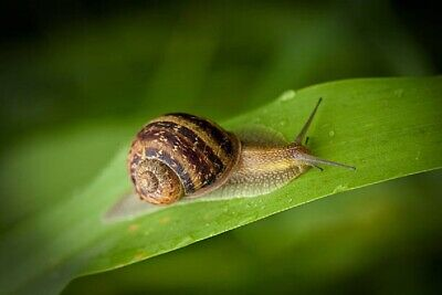 LAND SNAILS ALIVE Helix Aspersa Muller Little Cute Pets * Live from Nature