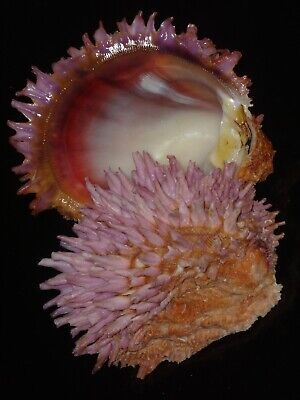 Chama pacifica 93.4mm AMAZING PINK FRILLY SUPER SPINY RARE POPULATION BEAUTY