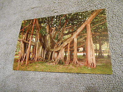 Vintage / Post Card / Giant Banyan Tree In Tropical Florida
