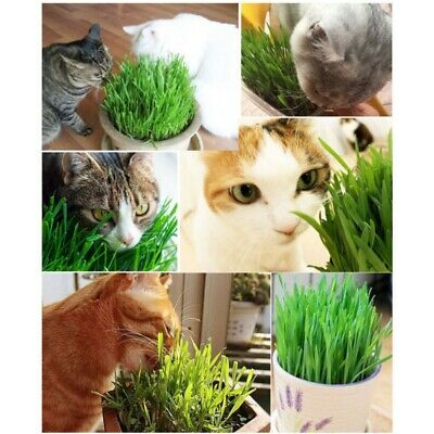300pcs Organic Cat Grass Seeds Great for Digestive System Easy Growing Cats Love