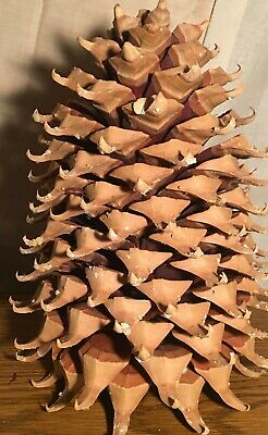 "Coulter ""Widowmaker"" Pine Cone 12"""