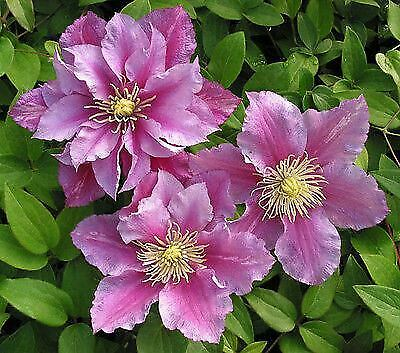 Clematis Piilu - Plant in 9cm Pot