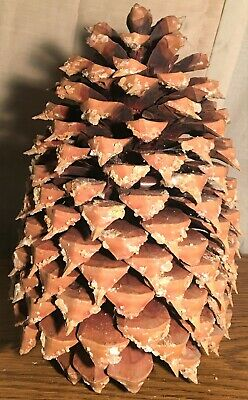 "Coulter ""Widowmaker"" Pine Cone 11"" Weighs Over 2-1/2 lbs."