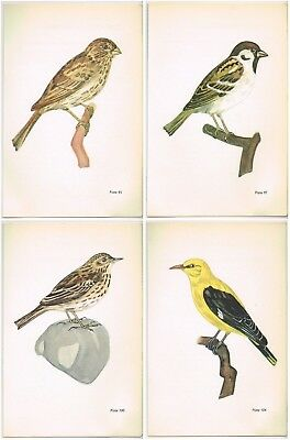 Corn Bunting Tree Sparrow White Wagtail Golden Oriole 4 Bird Prints Jan Solovjev