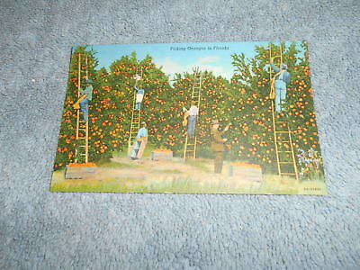 ( E ) Post Card -- Picking Oranges In Florida
