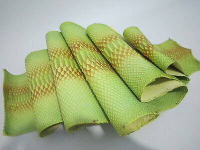 49 inch Borneo Curtus genuine real Python snakeskin hide tanned yellow glossy