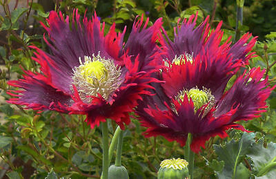 PAVOT SOMNIFERE AFGHAN à Froufrous Bicolore Frilly Poppy Seeds 100 Graines Seeds
