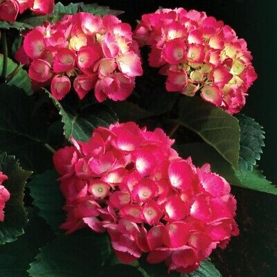 "Hydrangea macrophylla Red Baron, Plant in 3.5"" Pot"