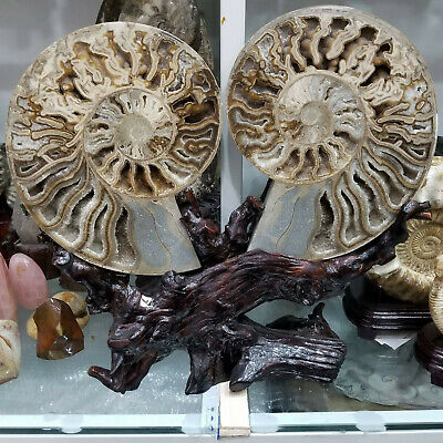 7-8KG A Pair Natural Ammonite Fossil Conch Specimen Healing From Madagascar 1PC