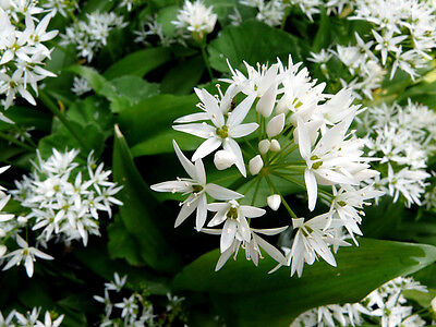 RAMSONS Wild Garlic HARVESTED IN THE FOREST Allium Ursinum 500 Seeds Zaden 2018