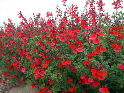 Salvia microphylla red,plant, rooted cutting