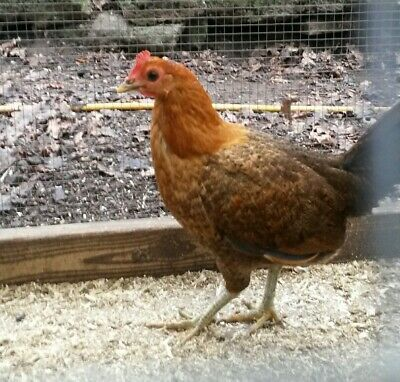 6 BLACK RED OXFORD OLD ENGLISH GAME Hatching eggs - £10 00