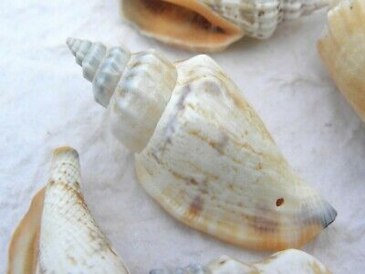 6 Lrg Spiral Sea Shell charms NOT drilled cabochon Beach Cottage Nautical NSS005