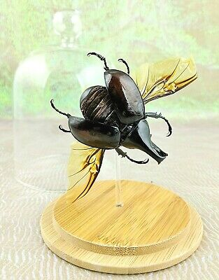 I44 LG Taxidermy Entomology Fighting Beetle Male wing spread Glass Dome Display
