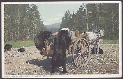 "Wyoming, USA ""Bear Faced Steal ""Yellowstone Park Negro Bears ! Vintage PC"